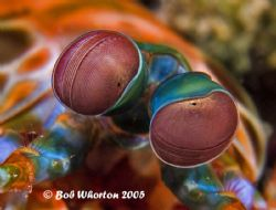 Betty Davis Eyes... Mantis Shrimp, Northern Sulawesi. F81... by Dr Bob Whorton 